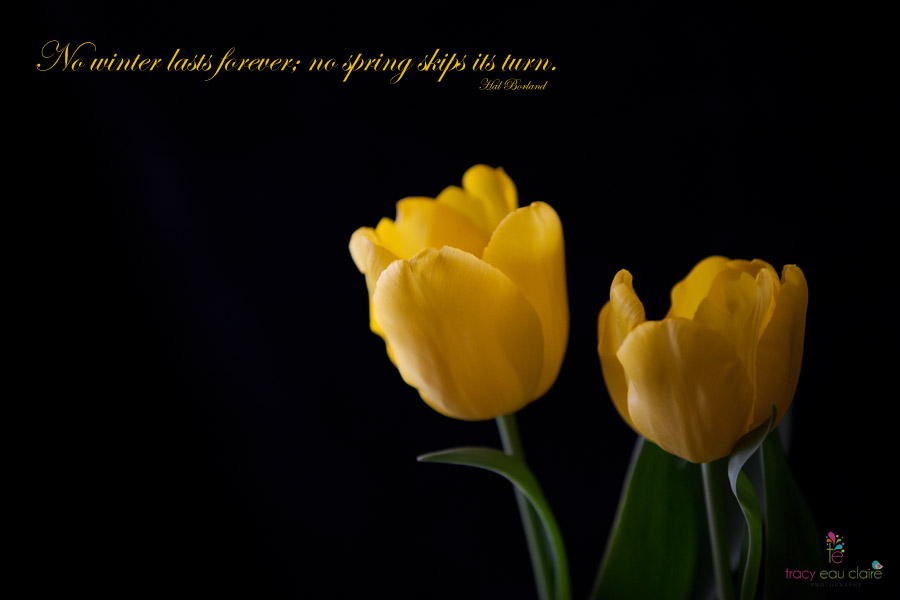 Tracy Eau Claire, Yellow Tulips on Black, Spring and New Beginnings